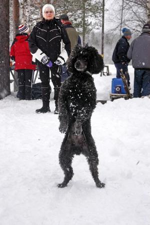 På spaning. Dvärgpudeln Moses på friluftsdag. Ett hundskall långt borta fångar uppmärksamheten.