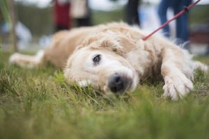 Det var hundar överallt på Game Fair i Bruksvallarna under lördagen.