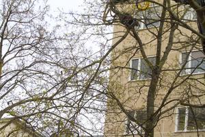 Träden på Nygatan mår inte så bra. Därför tas vartannat trädpar ner och får ge mer plats åt de som är kvar.