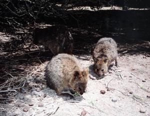 Det finns en mängd olika pungdjur, inte bara kängurur, i Australien. Quockorna är bland de minsta.Foto: Barbro Sollbe