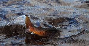 Det här är inget storöringsvatten, men alla fiskarna kämpade som om de vägde flera kilo.