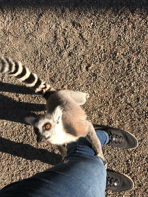 Lemur på Parken Zoo.