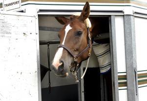 Nyfiken. Hästen Winette vill hålla koll på omgivningen mellan tävlingsmomenten.