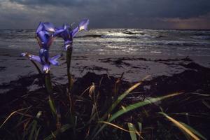 Dansk iris på stranden i Falsterbo, Skåne.