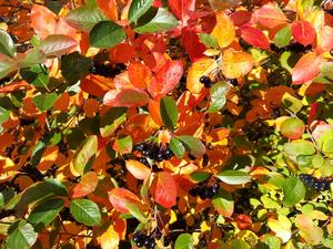 Vår Aroniabuske lyser av gröna, gula och röda blad samt svarta bär.
