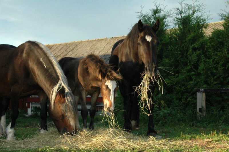 köpa hö till häst