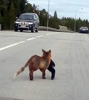 Med ett halv får hängande från munnen kom den svårt skabbangripna räven upp på vägen framför Hampus bil.