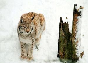 På Naturvårdsverkets begäran har ett samarbete inletts mellan Sverige och Norge för att förenklar föreskrifterna för rovdjursinventering.