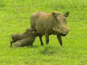 Tillbaka i Sverige efter en oförglömlig safariresa i Tanzania kan jag inte låta bli att skicka in denna härliga bild på en vårtsvinsmamma med sina bebisar.