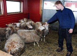 Magnus Olsson  inne bland fåren där baggen är framme och försöker visa vilken det är som bestämmer.