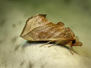 fjäril som ser ut som ett löv