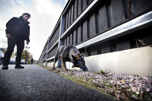 Ilya och de andra BPU-hundarna är tränade på att kunna söka intensivt i minst 45 minuter. Att söka reda på ett mynt när den skarpa arbetsuppgiften är över fixar Ilya lätt som en plätt.