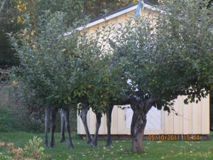 När jag gick på promenad med min hund Sally, tittade jag lite extra på detta underliga äppelträd. Vid närmare betraktande såg jag två älgar som mumsade på äpplen.
