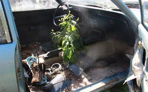 ...tog bild på växtligheten i en Ford Taunus som lär ha skrotats för länge sedan. Foto: Eric Salomonsson