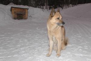Familjen Brorsdotters hund Nanok har sprungit lös i nio år utan att ha angripits av varg.