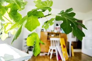 Fikonträdet breder ut sig i vardagsrummet.