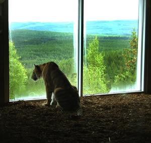Tigerutsikt. Den sibiriska tigerhonan Kitzi betraktar den milsvidda utsikten från sin nya bostad på Grönklitts berget. Under måndagen hade Orsa Grönklitt invigning av Tiger Mountain, parkens största satsning någonsin. Cirka 500 inbjuda gäster var på plats för att träffa de sällsynta jättekatterna. Foto:Jeanette Lundbeck