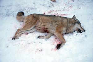 Första vargen som fälldes i Gävleborgs län under jakten 2010.