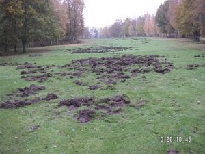 En vildsvinsbökad golfbana på Forshaga/Deje GK i Södra Sverige.