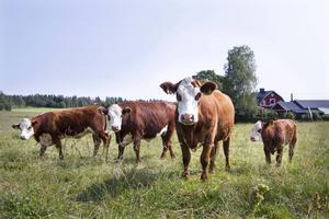 På Gästagård är de flesta korna ute året runt, på bete under sommaren och i det nybyggda området med uteservering och tält om vintern.