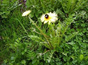 Roligast av  alla blommor: Maskrosen.