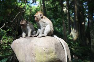 I Ubud är det populärt, men lite läskigt, att besöka Monkey forest. Aporna kan bli väldigt närgångna.