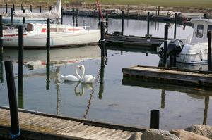 Vandrade i småbåtshamnen när jag fick se dessa svanar bilda ett hjärta, sann kärlek!