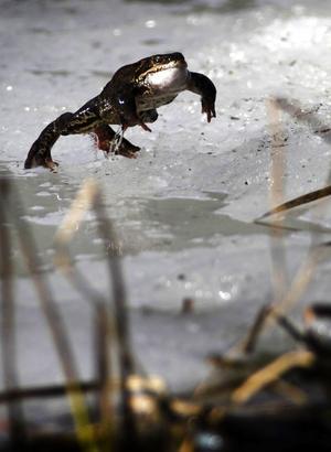 Livet leker för grodorna i Grodtjärn. Årets höjdpunkt är parningssäsongen och hela tjärnen spritter av livslust under några dagar.