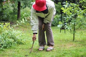 Hilkka Risberg har lagt ner hundratals timmar i kampen mot mördarsniglarna för att rädda sin trädgård.