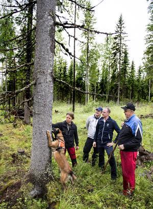 Hunden Aska markerar att hon har hittat granbarkborrar på en gran för matte Annette Johansson. Andreas Mattsson och Johan Blomqvist från SCA tittar med spänning på tillsammans med markägare Lars-Göran Stridh.