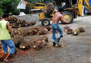 Arbetare i Malaysia tar han om några av de oljepalmer som skördats för att användas vid framställning av miljödiesel.Foto: jan moberg