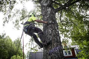 Med hjälp av kraftiga spikskor kan Victor van Deuren klättra upp i trädet, alltid med en säkerhetssele.