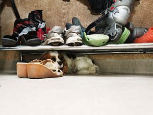 blyg. Ronja gömmer sig under skohyllan när nya hunden Shetland sheepdog-valpen Brego hälsar på vid hunddagiset.