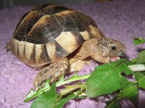 Ja, vilken lycka att kunna äta färska maskrosblad - i början av mars !I alla fall om man är en liten sköldpadda.