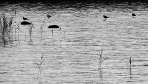 På en semester vid Vätterns strand, söder om Vadstena, såg jag en kväll hur en tärna stod på en sten i en grund vik, medan andra tärnor stod på vattnet! (Åtminstone såg det så ut). Bilden är konverterad till svartvitt för att få en grafisk effekt.