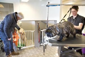 Janne Lundström hämtar Lee-Loo som har fått en ny snygg frisyr medan Cairnterriern Meja trimmas av en koncentrerad Sara.