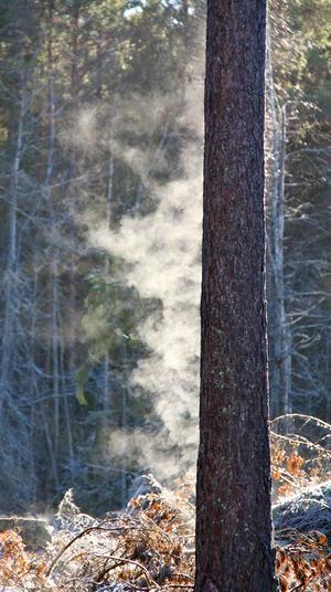 Det ryker om tallstammen när marssolens första värmande strålar når trädet efter en kall natt.