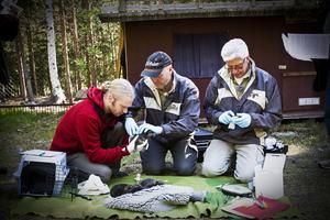 Så här såg det ut på Järvzoo i maj när två vargvalpar bytte mamma. Samtliga vargvalpar från de två tikar som var inblandade märktes och vägdes, här av Martin Emtenäs från SVT, Krister Karlsson och Olle Larsson från Järvzoo.