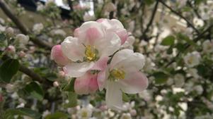 Visst är det väl fantastiskt med äppelblom på våren