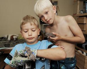 Kärt återseende. Lukas, snart 9 år, och lillebror Albin, 6 år, är lyckliga över att att leopardgeckon Sigge är tillbaka. Eftersom Sigge blivit lite rädd för människor under sin tid på rymmen väljer Lukas att ha handskar på sig ett tag.