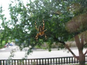 En korsspindel bevakar sitt nät på utsidan av vårt köksfönster. Det är en hona och hon fanns på plats i en vecka innan nätet blev förstört av blåst. Under tiden kom även en korsspindelhane in på hennes nät och uppvaktade henne. Det visas på en separat uppladdad bild