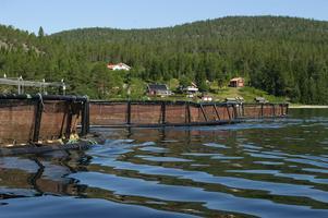 Fiskodlingarna i Köpmanholmen, Mjältösundet och Omnefjärdemn ska avveklas under tre år.