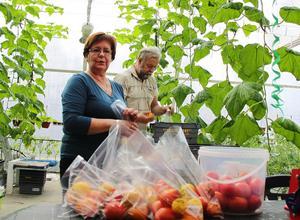 Lea och Uno Hörnström jobbar med att paketera de nyskördade tomaterna i påsar.