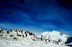 På Antarktis häckar två pingvinarter, kjesarpigvinen och adeliepingvinen.Gråsälar finns det gott om vid Antarktis.Antarktis har blivit i genomsnitt en halv grad varmare de senaste 50 åren. Bilden visar den uppvärmning som forskare har mätt i Västantarktis under de senaste 50 åren. Det mörkröda visar det område som värmts upp mest.