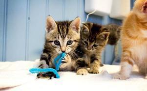 """Kattungar är enklast att omplaceras, menar Monika Mattsson. """"Men de som är äldre vill gärna ha äldre katter"""", fortsätter Maja. Foto: Sofie Lind"""