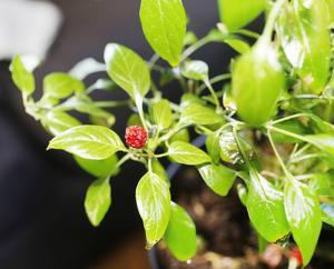 Blanda såpa och olja i vatten att spreja på plantan. Skölj av sedan och plantera gärna om. Det är Håkan Bertilssons bästa tips mot bladlöss.