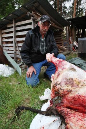 Gunnar Landgren med den dödade kalven.