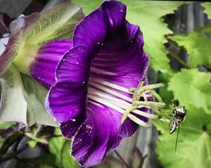 En klockranka med insekt - full med pollen - på vår altan.