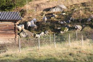 De överlevande sex fåren är fortfarande oroliga. Men de har samlats ihop i en mindre inhägnad och för att hålla rovdjuren borta spelar en bandspelare dansmusik på kvällen och natten.