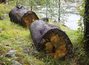 Det var riktigt stora och gamla träd som fick bidra med virke till huset.